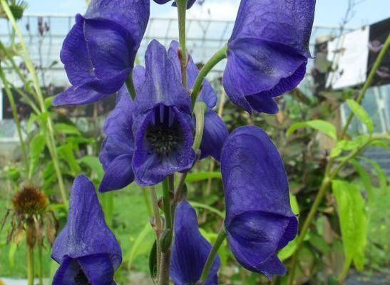Monkshood: Aconitum Napellus
