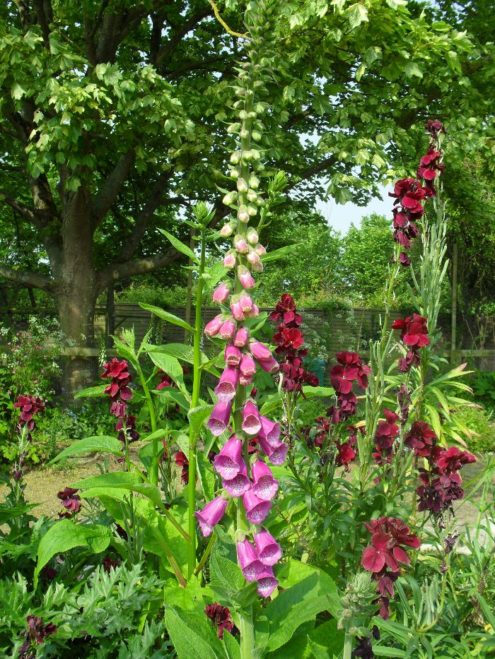 Foxglove in my garden (with a few wallflowers behind it.)