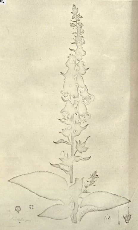 Illustration from William Withering's book on Foxgloves. Image courtesy Missouri Botanical Garden, http://www.botanicus.org