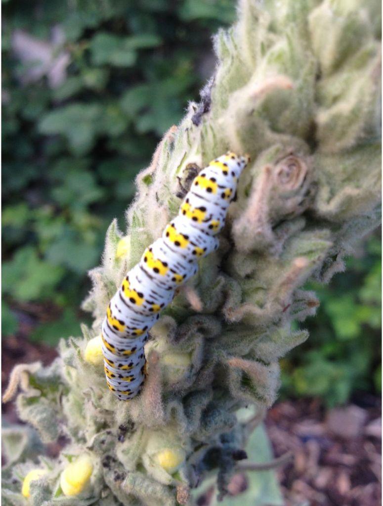 caterpillar of mullein moth