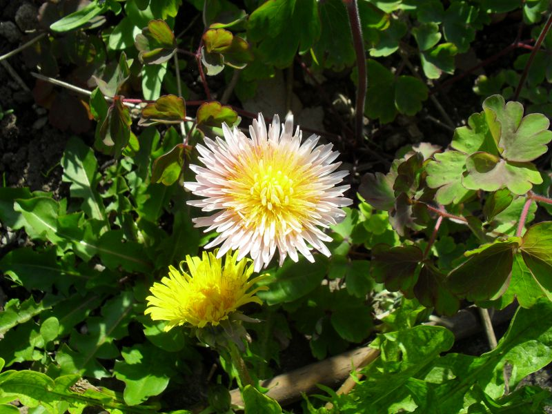 Bicolour Dandelion in pink and yellow