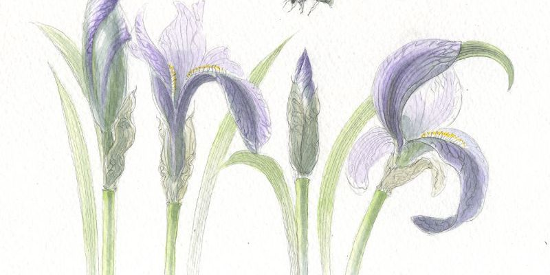 Iris spelt in irises - pencil and watercolour
